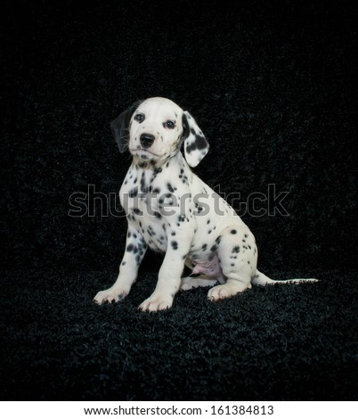 Cute Dalmation puppy sitting on a black background.