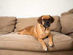 Cute Dark Fawn Puggle Dog Relaxing on Sofa of Similar Color