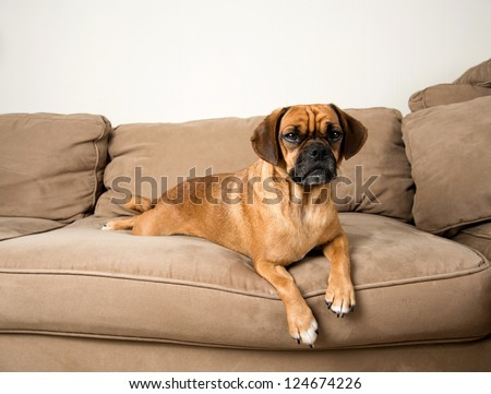 Cute Dark Fawn Puggle Dog Relaxing on Sofa of Similar Color
