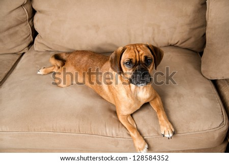 Puggle Dog Names Cute Dark Fawn Puggle Dog