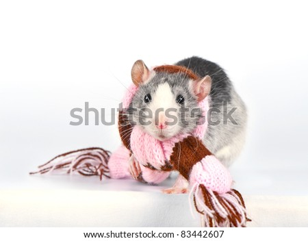 Cute decorative rat with woolen striped scarf close-up over white background
