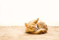 Cute desert fox sleeping front of bright background
