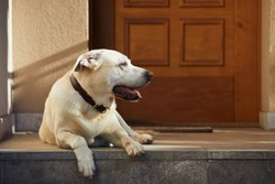 Cute dog against door. Old labrador retriver resting in front of house.