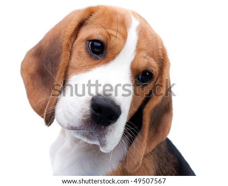 Cute dog. Beagle puppy looking curiously