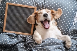 cute dog breed Beagle funny sleeping on the pillow and yawning. next to it is an empty felt writing board. free space for text