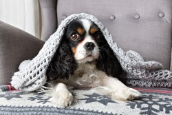 cute dog, cavalier spaniel under the warm grey blanket
