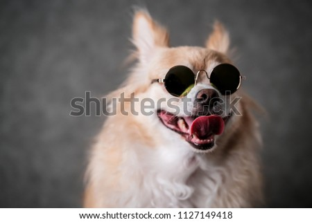 cute dog chihuahua with brown hair wear round sun glasses on black background #1127149418