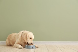 Cute dog eating food from bowl near color wall