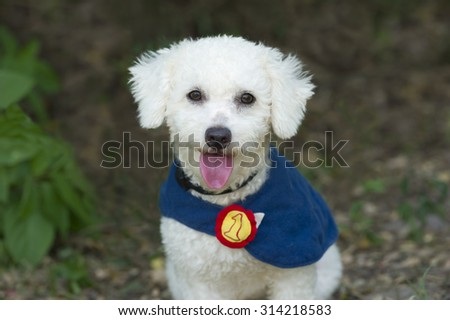 Cute dog happy is an adorable fluffy white dog wearing his super dog cape and sticking his tongue out of his mouth while he staright at you.