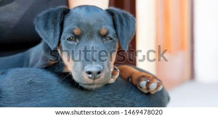 Deutscher Jagdterrier Puppy Bilder Und Stock Photos Avopixde
