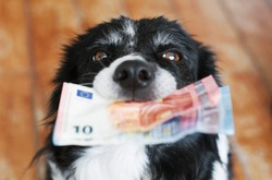 Cute Dog Holding Money in Mouth. Black and White Border Collie with Euro Banknotes.