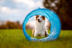 cute dog is lying in front of a parcours tunnel or tube, agility trainee break