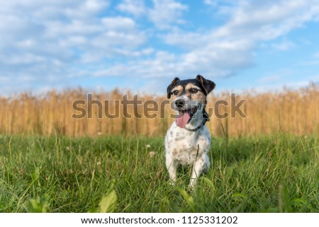 Cute dog is sitting in the evening in front of a grain field and blue cloudy sky - small laughing jack russell terrier #1125331202