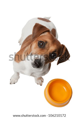 Cute dog Jack Russell is waiting for meal and looking with attentiveness