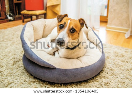 Cute dog Jack Russell rests on his bed #1354106405