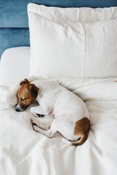 Cute dog Jack Russell Terrier sleeping on a white bed in a cozy modern bedroom.