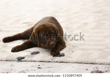 Cute dog leaving muddy paw prints on carpet #1150897409