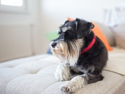 Cute dog Miniature schnauzer laying on sofa in living room