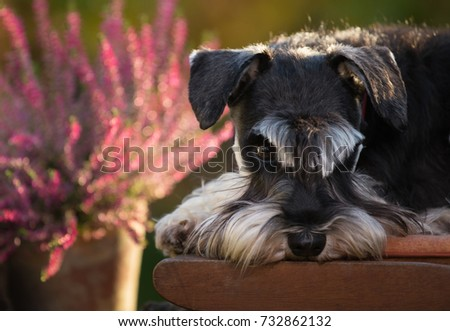 Cute dog miniature schnauzer lying on wooden chair in garden. Pink flowers in background #732862132