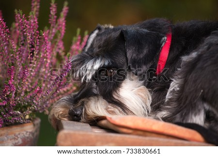 Cute dog miniature schnauzer lying on wooden chair in garden. Pink flowers in background #733830661