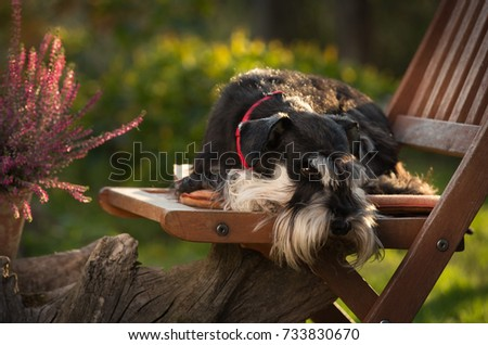 Cute dog miniature schnauzer lying on wooden chair in garden. Pink flowers in background #733830670