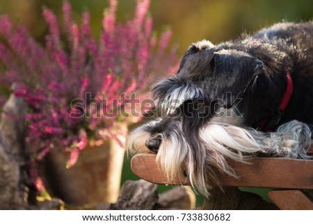 Cute dog miniature schnauzer lying on wooden chair in garden. Pink flowers in background #733830682