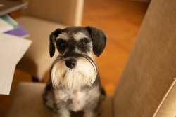 Cute dog Miniature schnauzer sitting on a chair in living room