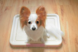 Cute Dog on a Training Pad Tray Holder, Wooden Floor Background, Continental Toy Spaniel Papillon Pure Breed [Vivid Bright Collection]