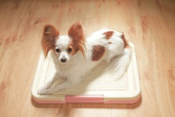 Cute Dog on a Training Pad Tray Holder, Wooden Floor Background, Continental Toy Spaniel Papillon Pure Breed