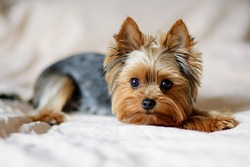 Cute dog photography, yorkshire terrier photo