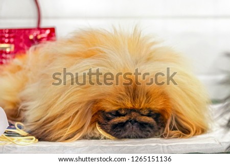 Cute dog pikines dozing in luxury store waiting for his mistress.  Doggy sleeps on the background of fashionable things