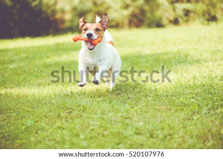 Cute dog playing with toy bone at sunny summer day #520107976