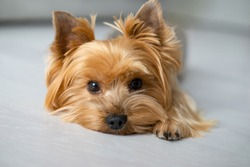 Cute dog portrait. Groomed Yorkshire terrier at home