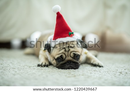 Cute Dog Pug Breed in Red Santa coat Costume lying smile and happiness in Christmas and new year day,Healthy Purebred dog  with Christmas concept