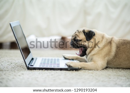 Cute dog Pug breed lying and yawning on ground looking on computer laptop screen working and typing with computer laptop feeling so lazy and want to sleep,Dog and Business Concept