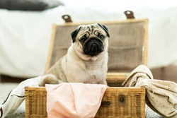 Cute dog pug breed sitting on basket luggage with cloth and dress inside waiting to travel and making serious face puppy dog feeling so funny and happiness,Dog and Travel Concept