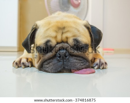 Cute dog puppy Pug sleep rest by chin and tongue lay on Floor. Lazy pug dog. Conceptual of funny pug dog.