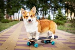 cute dog redhead  pembroke welsh corgi standing  a skateboard on the street for a summer walk in the park