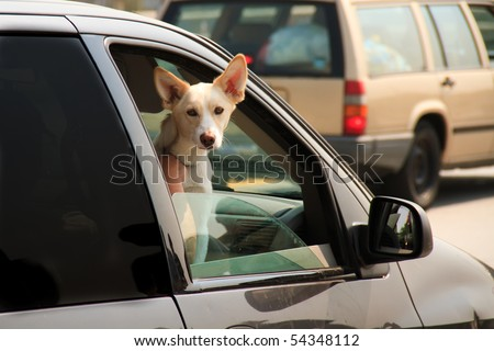 Cute dog riding shotgun with its head out the car window, stuck in city rush hour traffic. Closeup