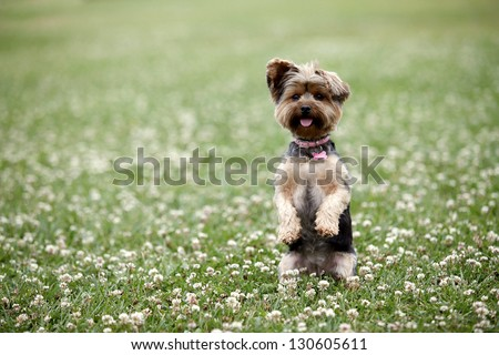 Cute dog sitting up in a field #130605611