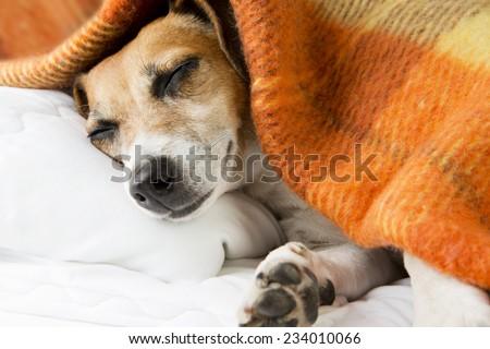 cute dog sleeping basking resting under a cozy blanket