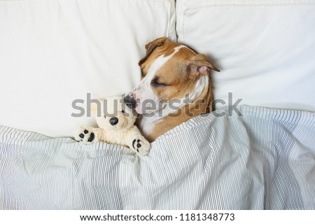 Cute dog sleeping in bed with a fluffy toy bear, top view. Staffordshire terrier puppy resting in clean white bedroom at home #1181348773