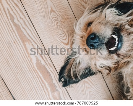 Cute dog smiling while lying on a wooden floor with its nose up showing white teeth #787009525