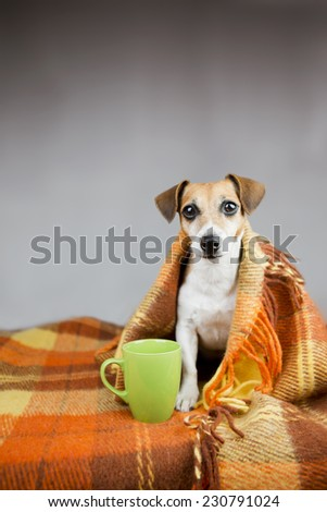 Cute dog to keep warm under the covers. Near cup warm drink in a green cup. Grey background