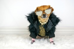 Cute dog wearing posh fancy outfit and sunglasses