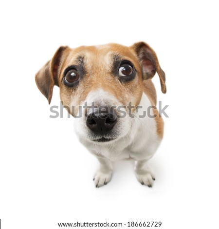 Cute dog with big nose looking to the side with suspicion excitement. White background. Studio shot