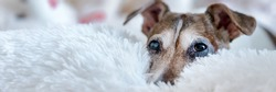 Cute dog with brown head lying on bed with white fluffy blanket. Concept animal allergy.