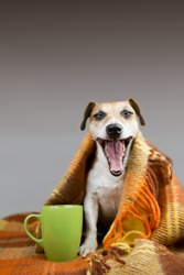 Cute dog yawns open mouth sitting next to a cup. Wrapped in a bright warm blanket. Free space for text on top