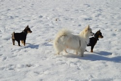 cute dogs in the snow, german spitz with two spitz pinscher mix puppies babies, white and black dogs, small dogbreeds