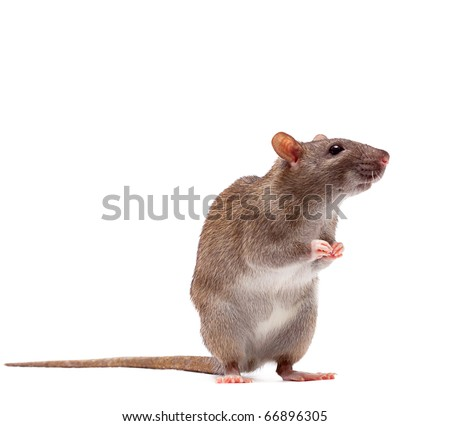 Cute domestic brown rat standing n a tiptoe